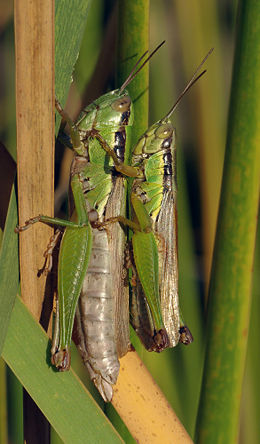 Oxya yezoensis .dişi (solda) ve erkek (sağda).