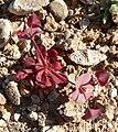 Oxytheca perfoliata 3.jpg