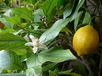 A fruiting lemon tree. A blossom is also visible.