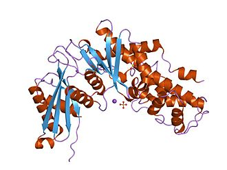 Hexokinase - crystal structure of human glucokinase