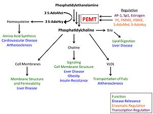 Phosphatidylethanolamine N-methyltransferase - Overview of biological roles and regulation of phosphatidylethanolamine N-methyltransferase (PEMT)
