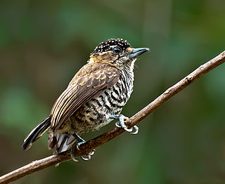White-barred piculet species of bird