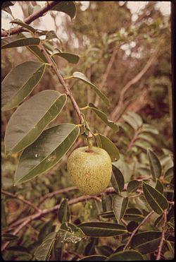 POND APPLE - NARA - 544666.jpg