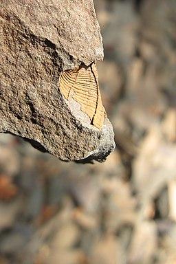 PP Biskoupky, detail zkameněliny