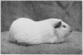 PSM V77 D426 An albino female guinea pig.png