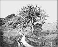 PSM V86 D049 Leafless silk cotton tree bearing fruit.jpg
