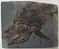 Pachycormus bollensis.JPG