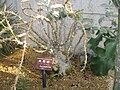 Pachypodium lealii ssp saundersii1.jpg