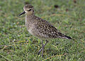 Pacific Golden Plover2.jpg