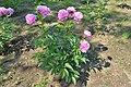 Paeonia lactiflora (hanakago).jpg