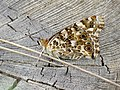 Painted Lady (37008082672).jpg