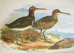 Painted Snipe hm.jpg