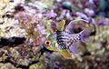 Pajama cardinal fish Sphaeramia nematoptera.jpg