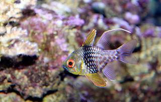 <i>Sphaeramia nematoptera</i> species of fish