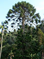Palacio-Monserrate Araucaria SET-07.jpg