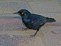 Pale-winged Starling (Onychognathus nabouroup) (7039082461).jpg