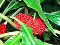 Palisota barteri (in a greenhouse) 02.JPG