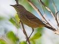 Palm Warbler - Setophaga palmarum, Key Deer National Refuge, Big Pine Key, Florida (27108279819).jpg