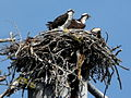 Pandion haliaetus -California -two on nest-8.jpg