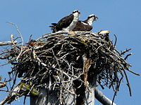 Pandion haliaetus -California -two on nest-8
