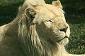 Panthera leo at the Philadelphia Zoo 006.jpg
