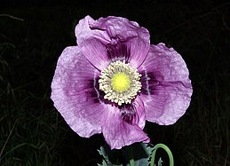 Papaver somniferum 01 by-dpc.jpg