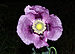 Papaver somniferum - Photo (c) David Perez,  זכויות יוצרים חלקיות (CC BY)