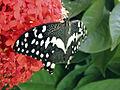 Papilio demodocus.jpg