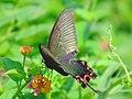 Papilionidae (5250363314).jpg