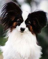 Papillon Dog Wikipedia