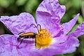 Paracorymbia fulva Samothrace.jpg