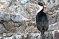 Paradise Bay Bird Antarctica 3 (47284348222).jpg