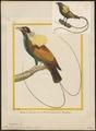 Paradisea speciosa - 1700-1880 - Print - Iconographia Zoologica - Special Collections University of Amsterdam - UBA01 IZ15700131.tif