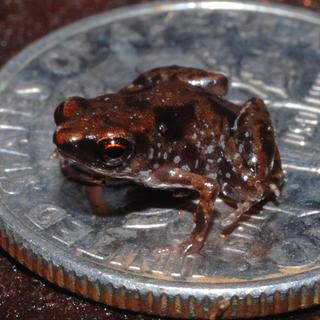 <i>Paedophryne amauensis</i> Species of amphibian
