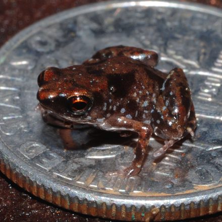 The world's smallest known vertebrate, Paedophryne amauensis, sitting on a U.S. dime. The dime is 17.9 mm in diameter, for scale Paratype of Paedophryne amauensis (LSUMZ 95004).png