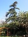 Parc Olbius Riquier - Cedrus atlantica.jpg