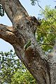 Parrot on Trunk - Kharagpur - West Midnapore 2015-01-24 4936.JPG