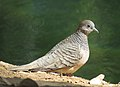 Peaceful Dove (Geopelia placida).jpg