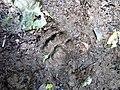 Pegada de onça (Puma concolor) na trilha Temimina Jani Pereira (34).jpg