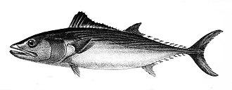 Sarda chiliensis - Image: Pelamys chilensis Ford 56