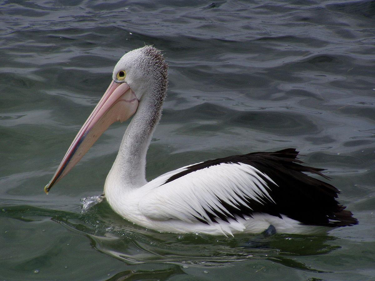 Pelicano wikip dia a enciclop dia livre - Fotos de pelicanos ...