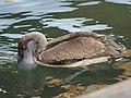 Pelecanus occidentalis (fishing).jpg