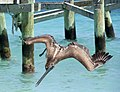 Pelican 6 (4380621502).jpg