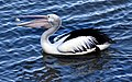 Pelican and the fish head-2and (3597654246).jpg