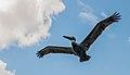 Pelican in mangroves of the Restinga Lagoon 4.jpg