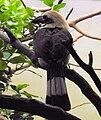 Penelopides panini - Zoo Frankfurt 2.jpg