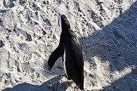 Penguins at Boulders Beach, Cape Town (14).jpg