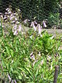 Penstemon hirsutus (pubescens)2.jpg