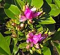 Pereskiagrandifolia1.JPG