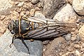 Periodical Cicada Top View (34888132702).jpg
